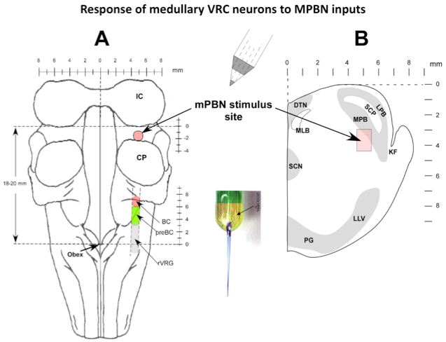 Response of medullary VRC neurons to MPBN inputs
