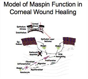 Maspin function in corneal wound healing