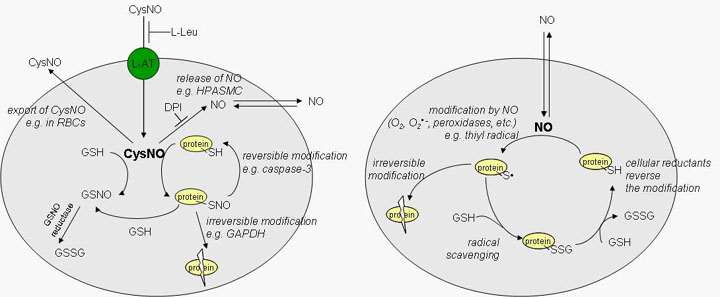Nitric Oxide Signaling