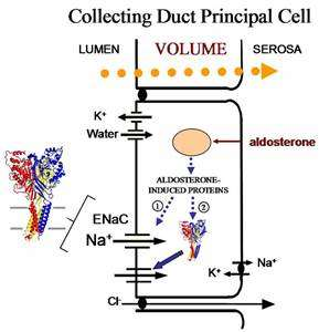Collecting duct principal cell