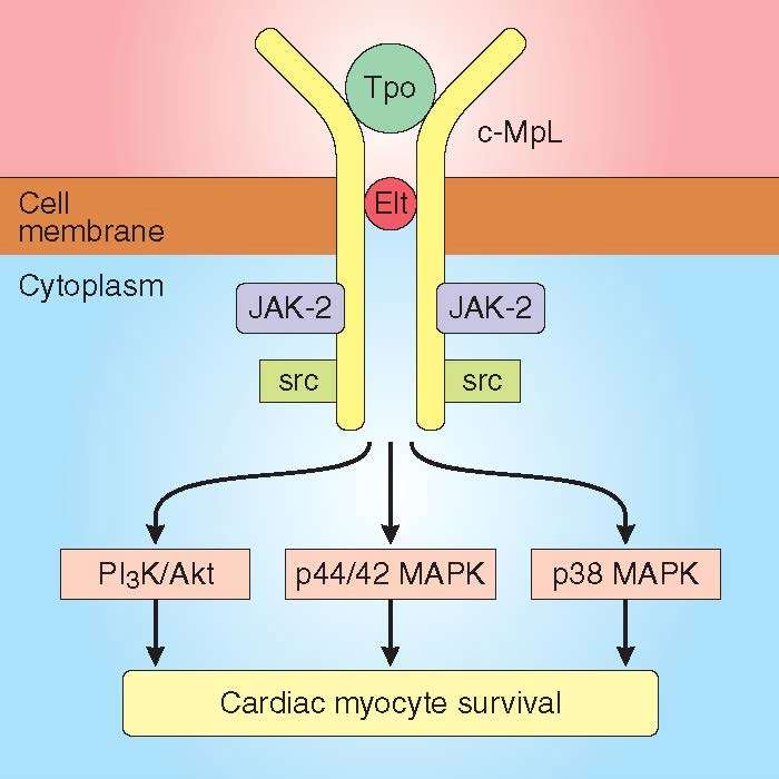 Cardiac Myocyte Survival